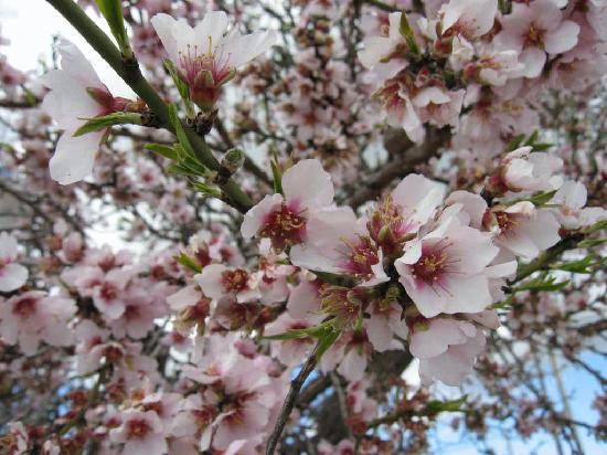 http://katysgarden.files.wordpress.com/2010/01/almond-blossom.jpg